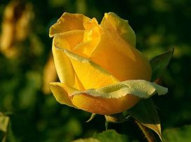 800px-Yellow_rose_macro_close_up