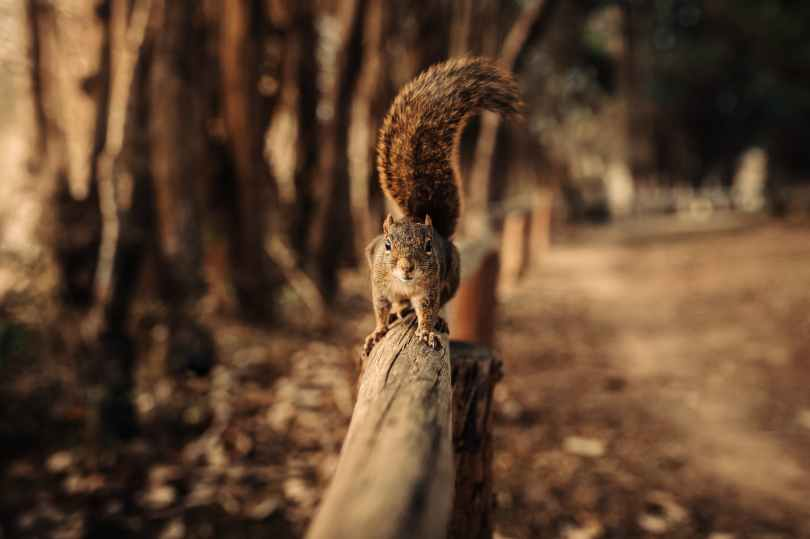 squirrel on wood