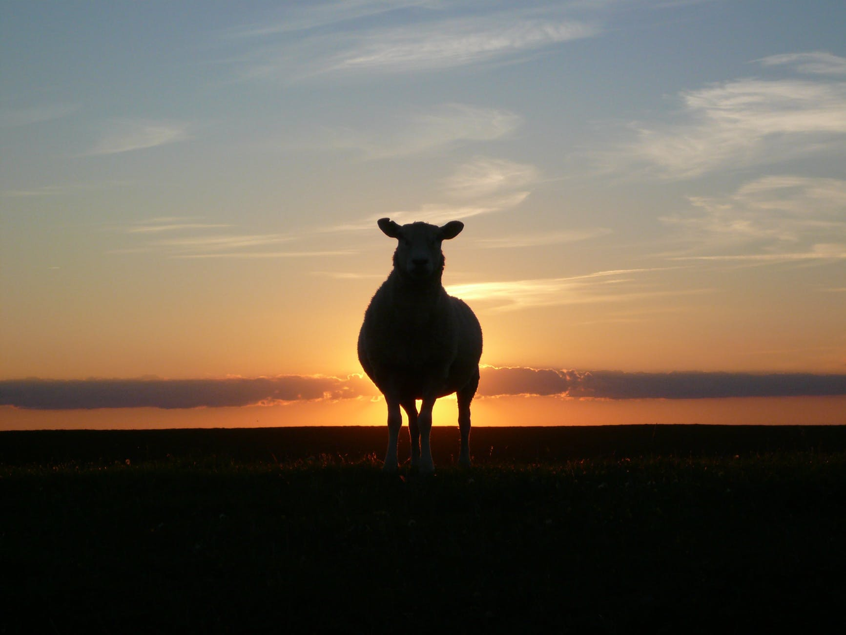 sunset sheep royalty free north sea