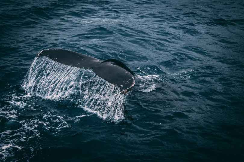 photography of whale tail on water surface